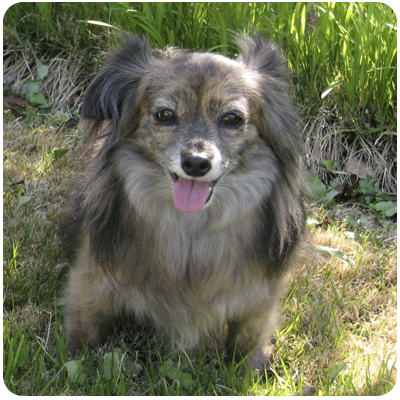 Papillon Dachshund Mix Images & Pictures - Becuo